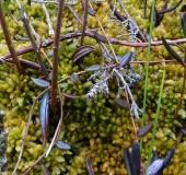 004-Gefranstes-Torfmoos-Sphagnum-fimbriatum-L. Klasing