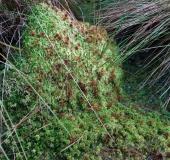Trügerisches Torfmoos (Sphagnum fallax)