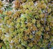Dichtes Torfmoos (Sphagnum compactum)-L. Klasing