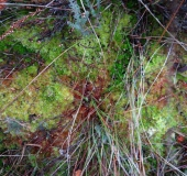 Weiches Torfmoos (Sphagnum molle)
