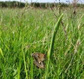 Feuchtwiese: Paarung Großes-Ochsenauge