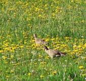 Feuchtwiese: Großer Brachvogel (Numenius arquata)