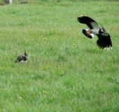 Feuchtwiese: Kiebitz (Vanellus vanellus)