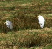 Feuchtwiese: Graureiher (Ardea cinerea) u. Silberreiher (Casmerodius albus)