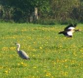 Feuchtwiese: Graureiher (Ardea cinerea)