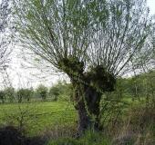 Feuchtwiese: Kopfweide (Salix viminalis)