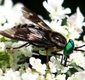 Goldaugenbremse m. (Chrysops relictus)