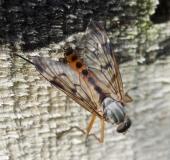 Gemeine Schnepfenfliege m. (Rhagio scolopaceus)