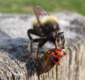 Beute: Asiatischer Marienkäfer, Gelbe Mordfliege w. (Laphria flava)