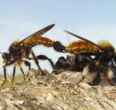 Paarung: Gelbe Mordfliege (Laphria flava)