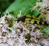 009-Gefleckter-Schmalbock-Rutpela-maculata-L.-Klasing-