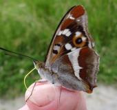 Großer-Schillerfalter-Apatura-iris-L.-Klasing-2