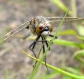 Nordische Moosjungfer W. (Leucorrhinia rubicunda)-L. Klasing