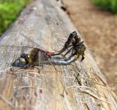 Paarung: Nordische Moosjungfer (Leucorrhinia rubicunda)-L. Klasing