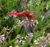 Feuerlibelle (Crocothemis erythraea)-L. Klasing