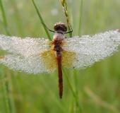 Gefleckte Heidelibelle M. (Sympetrum flaveolum)-L. Klasing