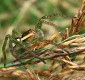 Gerandete Jagdspinne (Dolomedes fimbriatus)