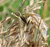 Mit Kokon, Gerandete Jagdspinne (Dolomedes fimbriatus)