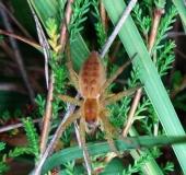 Jungspinne, Gerandete Jagdspinne (Dolomedes fimbriatus)