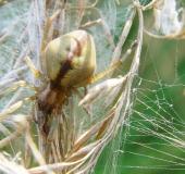 Heide Sackspinne (Cheiracanthium erraticum)