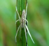 Laufspinne (Tibellus maritimus)