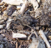 Wolfspinne (Pardosa lugubris)