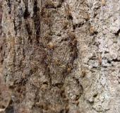 Weberknecht (Opilio canestrinii)