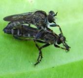 Paarung: Raubfliege (Neomochtherus geniculatus)