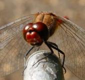 Blutrote Heidelibelle (Sympetrum sanguineum)-L. Klasing
