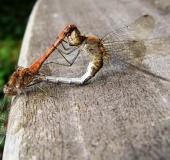 Paarung: Große Heidelibelle (Sympetrum striolatum)-L. Klasing