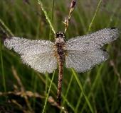 Schwarze Heidelibelle W. (Sympetrum danae)-L. Klasing