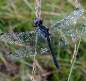 Schwarze Heidelibelle M. (Sympetrum danae)-L. Klasing