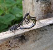 Paarung: Schwarze Heidelibelle (Sympetrum danae)-L. Klasing