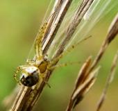 Streifenkreuzspinne (Mangora acalypha)