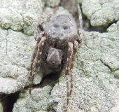 Spaltenkreuzspinne (Nuctenea umbratica)