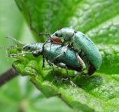 004-Paarung-Nessel-Blattrüssler-Phyllobius-pomaceus-L.-Klasing-