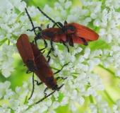 008-Paarung-Rüssel-Rotdeckenkäfer-Lygistopterus-sanguineus.-L.-Klasing