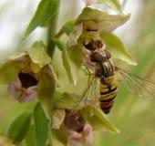 Hainschwebfliege w. (Episyrphus balteatus)