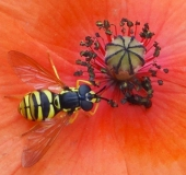 Gemeine Wespenschwebfliege (Chrysotoxum cautum)