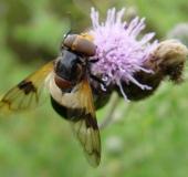 Gemeine Waldschwebfliege w. (Volucella pellucens)