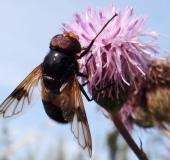 Gemeine Waldschwebfliege m. (Volucella pellucens)
