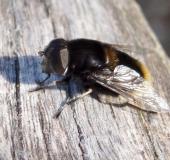 Hummel-Keilschwebfliege w. (Eristalis intricarius)