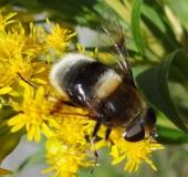 Hummel-Keilfleckschwebfliege w. (Eristalis intricaria)