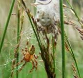Besuch v. Männchen: Vierfleck-Kreuzspinne (Araneus quadratus)