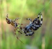 Paarung: Vierfleck-Kreuzspinne (Araneus quadratus)