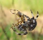 Paarung: Vierfleck-Kreuzspinne (Araneus quadratus) W. 18 mm M. 7-10 mm
