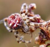 Nach der Eiablage: Vierfleck-Kreuzspinne (Araneus quadratus) W. 18 mm M. 7-10 mm