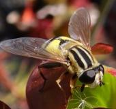 Große Sumpfschwebfliege w. (Helophilus trivittatus)