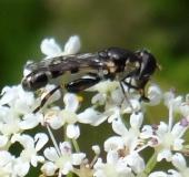 Gemeine Keulenschwebfliege (Syritta pipiens)