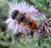 Scheinbienen-Keilfleckschwebfliege m. (Eristalis tenax)